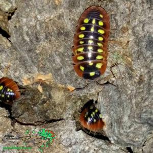 Armadillidium-Klugii-Montenegro-Yellow-Blapticas