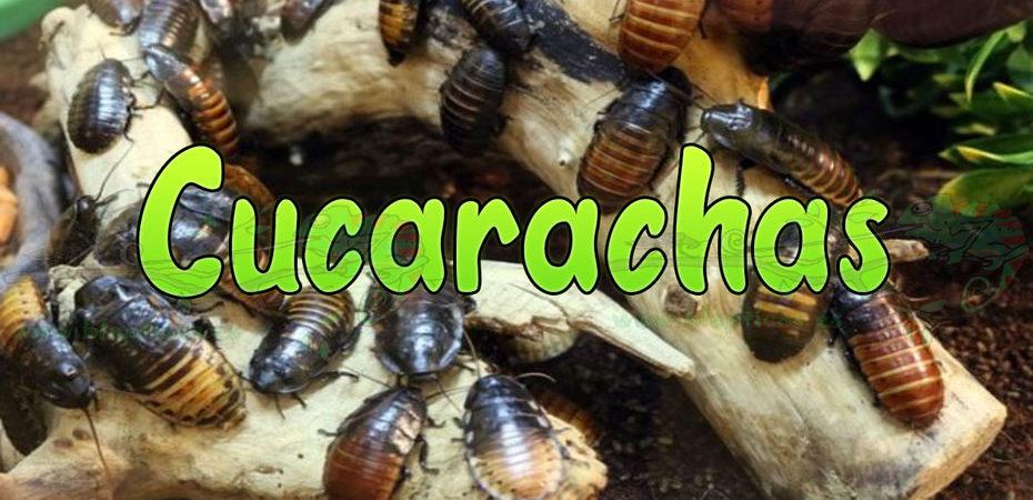 Cucarachas-Blapticas