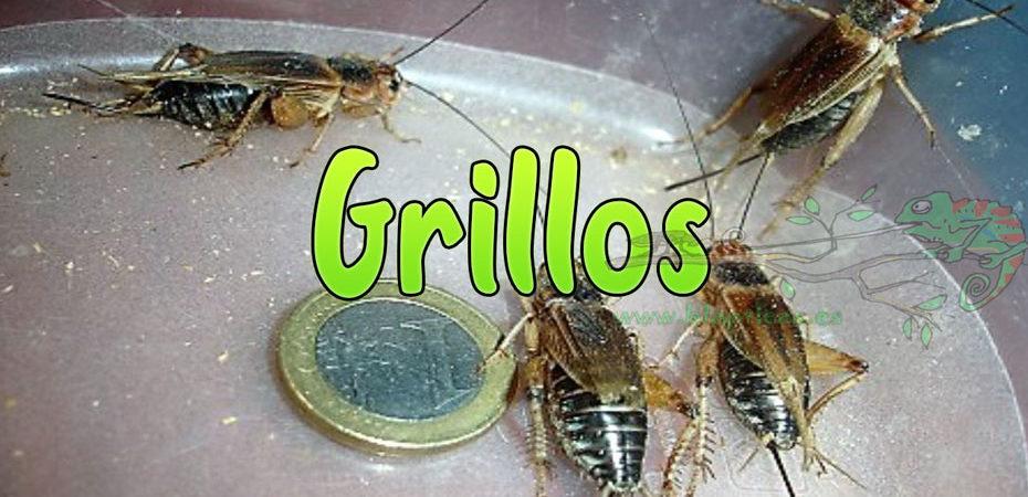 Grillos-Blapticas