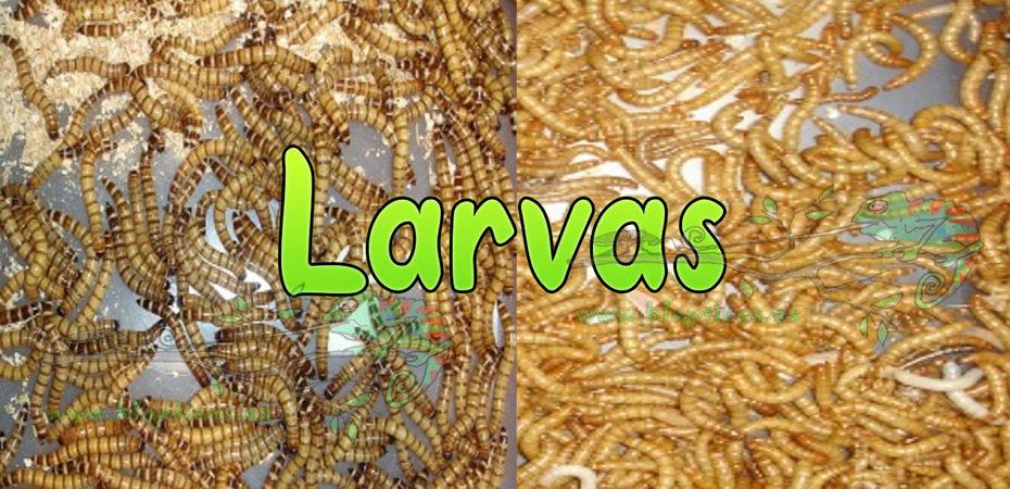 Larvas-Blapticas