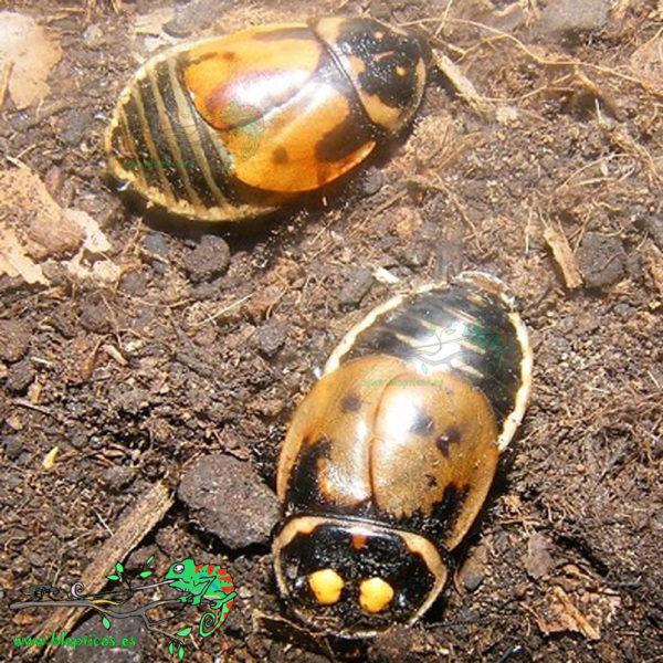 Lucihormetica-Verrucosa-Blapticas