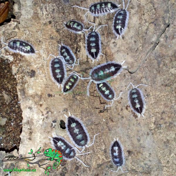 Porcellio-Succinctus-Blapticas