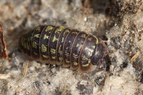Armadillidium-versicolor-Blapticas.es