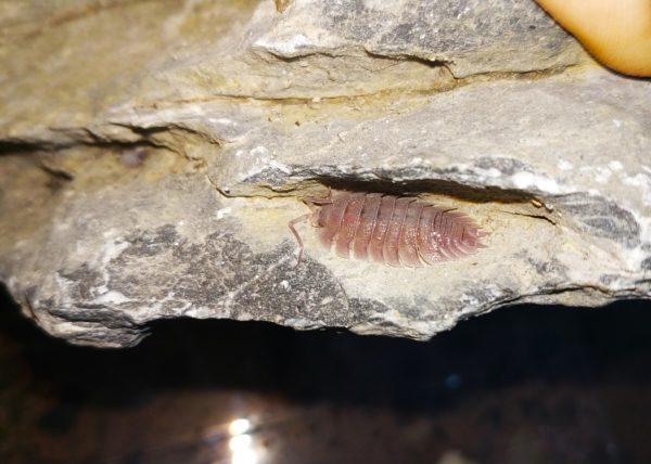 Porcellio-cf-baeticensis-Blapticas.es